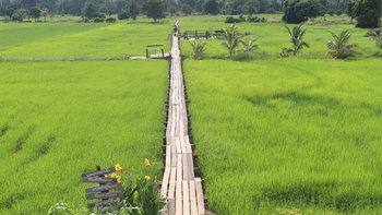 สะพานไม้ร้อยปีโคราช ทอดผ่านนาข้าวเขียวขจีรับนักท่องเที่ยวหน้าฝน