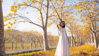 มุมถ่ายรูปสุดปัง! ดอกสุพรรณิการ์บาน เหลืองอร่ามเต็มพื้นที่ สิงห์ปาร์คเชียงราย
