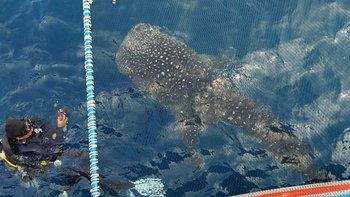 พี่จุด ฉลามวาฬเจ้าถิ่นเกาะเต่า โผล่วายน้ำอวดโฉมโชว์นักท่องเที่ยวต้อนรับสงกรานต์