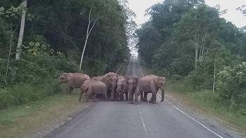โขลงช้างป่าออกมาอวดโฉมกลางถนนเขาใหญ่ ต้อนรับการกลับมาของนักท่องเที่ยว