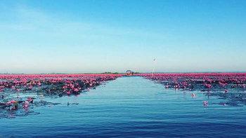 ชมทะเลบัวแดง อุดรธานี เริ่มบานแล้วในช่วงนี้