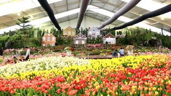 งานมหัศจรรย์ไม้เมืองหนาว ครั้งที่ 8 : ทิวลิปบานที่ระยอง เหมือนยกฮอลแลนด์มาไว้ในเมืองไทย