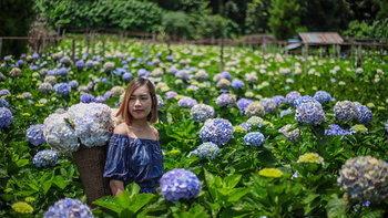 ทุ่งดอกไฮเดรนเยียโครงการหลวงขุนแปะ งดงามราวกับอยู่ต่างประเทศ