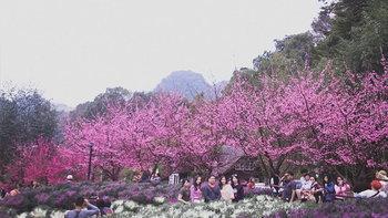 ซากุระสายพันธุ์ญี่ปุ่นบานแล้ว 100 เปอร์เซ็นต์ที่ดอยอ่างขาง