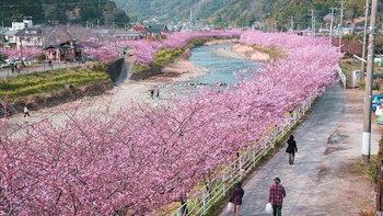 5 จุดชม ซากุระหน้าหนาว 2020 ที่ญี่ปุ่น เที่ยวง่ายใกล้โตเกียว