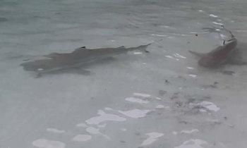 ฝูงฉลามหูดำและปลาหลากหลายชนิดโผล่ใกล้ชายหาดเกาะห้องหลังทะเลสงบเพราะ COVID-19