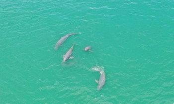 ฮือฮา! พบฝูงโลมาอิรวดี ว่ายน้ำเล่นอยู่บริเวณเกาะช้าง