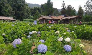 ทุ่งดอกไฮเดรนเยียบ้านขุนแปะ  Unseen เชียงใหม่