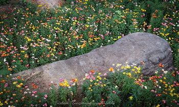 อัพเดทภาพล่าสุด ทุ่งดอกกระดาษภูหินร่องกล้า บานสะพรั่งสวยงามเป็นอย่างมาก