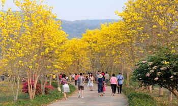 ดอกเหลืองอินเดียบานสะพรั่ง เหลืองอร่ามปกคลุมพื้นที่บ้านงอบ อำเภอทุ่งช้าง จังหวัดน่าน