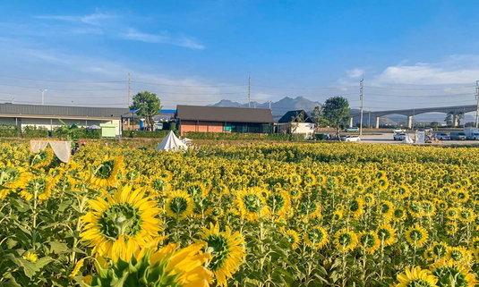 ทุ่งดอกทานตะวัน Little yellow hill บานสะพรั่งสวยงามหลังปั้ม ปตท. มวกเหล็ก