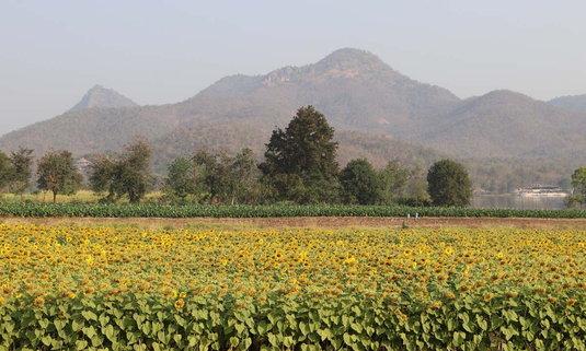 ดอกทานตะวันบานสะพรั่งเหลืออร่ามริมอ่างเก็บน้ำลำตะเพิน สุพรรณบุรี