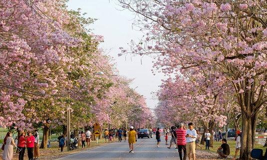 ดอกชมพูพันธุ์ทิพย์เกษตรกำแพงแสน บานสะพรั่งทั่วพื้นที่กลายเป็นสีชมพู