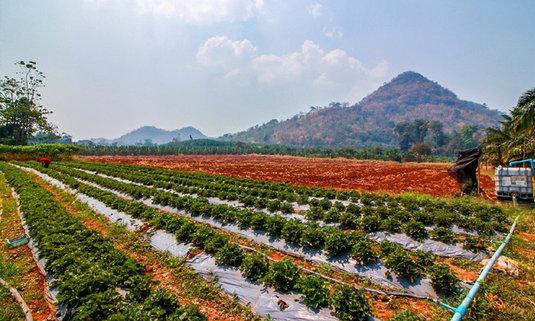 """เที่ยว """"ไร่สีฟ้า แก่นมะกรูด""""  กินสตรอว์เบอร์รีสดๆ จากต้น ท่ามกลางธรรมชาติอันงดงาม"""