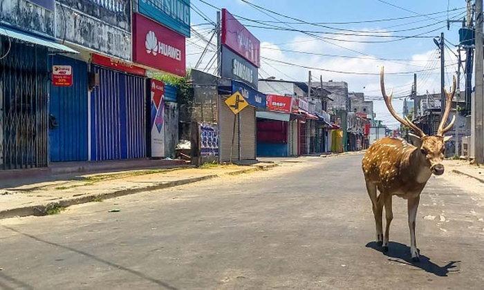 ธรรมชาติฟื้นฟู! กวางป่าเดินกลางถนนที่ไร้ผู้คน ในเมือง Trincomalee ประเทศศรีลังกา