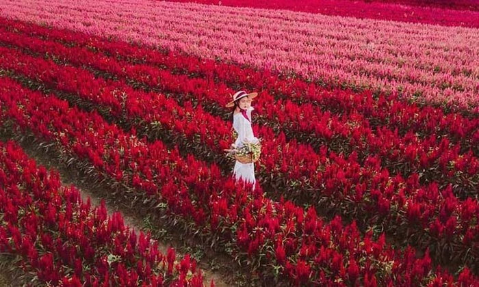 I Love Flower Farm เตรียมเปิดให้เข้าชมทุ่งดอกซีโลเซียสีแดง 31 ต.ค. นี้