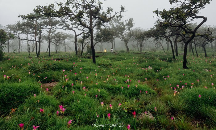 อัปเดตทุ่งดอกกระเจียวอุทยานแห่งชาติป่าหินงาม สวยงามหลังม่านหมอกหน้าฝน