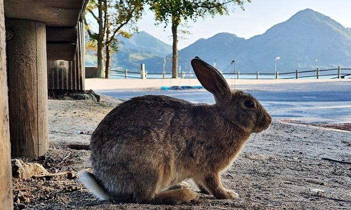เกาะโอคุโนชิมา พาเที่ยวเกาะกระต่ายสุดน่ารัก ที่มีเบื้องหลังจากซากโรงงานแก๊สพิษจากสงครามโลก