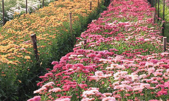 จุดเช็กอินแห่งใหม่ สวนดอกไม้บิ๊กเต้ เมืองมวกเหล็ก