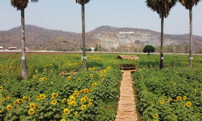 ทุ่งทานตะวันบานสะพรั่งเมืองโบราณอู่ทอง สุพรรณบุรี