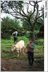 เด็กในหมู่บ้านมีหน้าที่เลี้ยงวัว