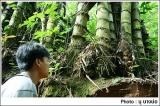 ต้นไผ่ขนาดใหญ่ระหว่างทางไปบึงแฝด