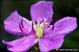 ดอกเอนอ้า ที่พบเห็นได้ง่ายในป่าดงนาทาม