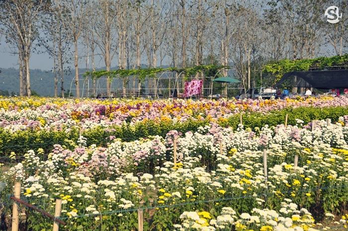 เทศกาลดอกเบญจมาศบานในม่านหมอก