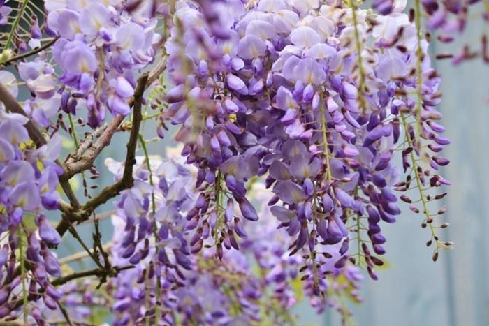 wisteria-772957_960_720-768x5