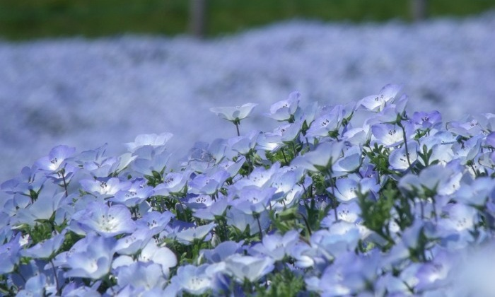 Take A Look At The Fields Of Nemophila The Japanese Blue Flowers