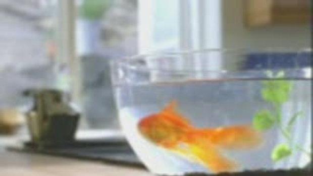 เเมวกลัวปลาทอง