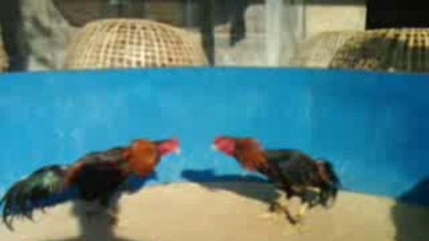 ไก่ชน พม่า เหล่าพนมไพร