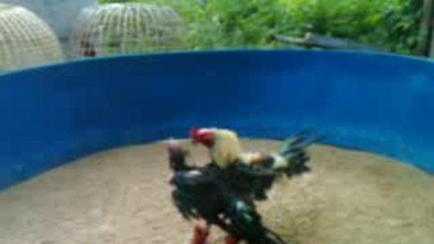 ไก่ชนพนมไพร โอ เอสที