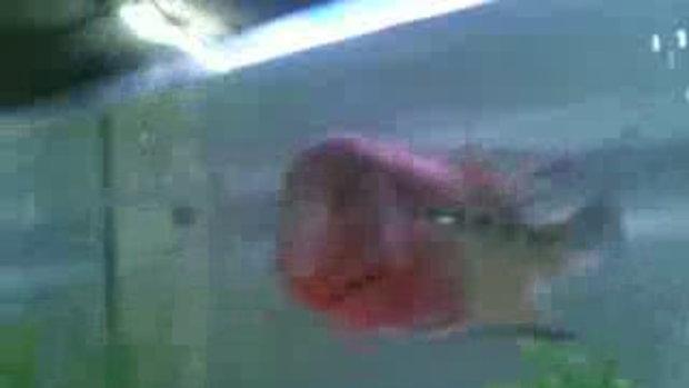 ปลาร้านพี่ แดง