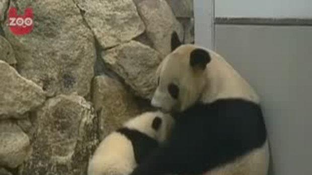 ลูกหมีแพนด้าที่เมืองจีน