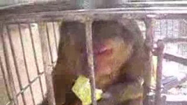 ลิงกัดฝรั่ง