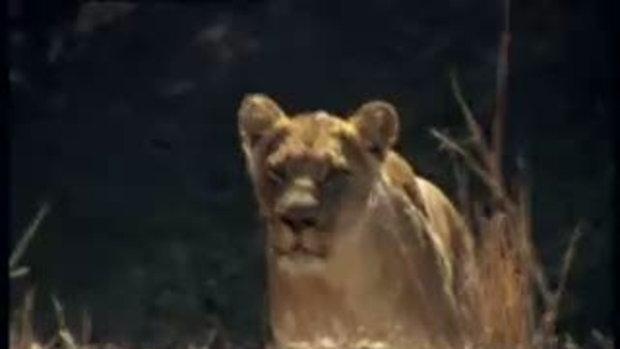 สิงโต ปะทะ ควายป่า