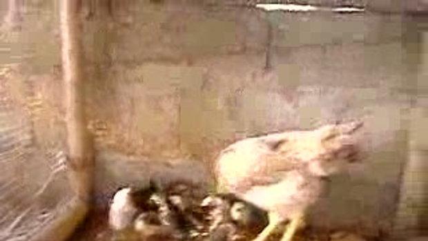 ไก่จ่าอึ่ง (แม่ไก่กับลูกๆ)