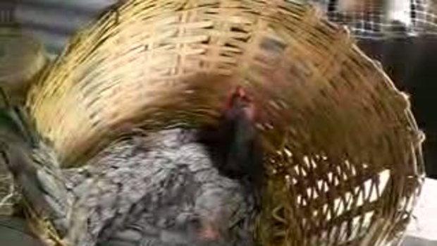 ไก่จ่าอึ่ง (ตะกร้าฟักไข่)