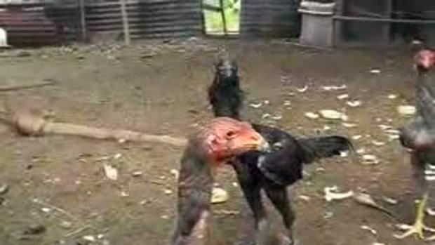 ไก่จ่าอึ่ง  (ไก่ดำ อยากเป็นจ่าฝูง2)