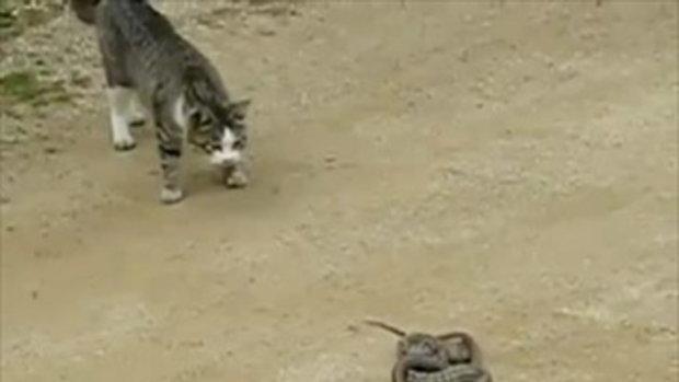 แมวกัับงู ใครไวกว่ากัน!!