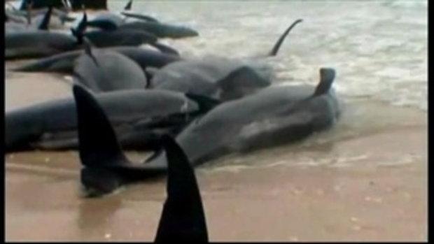 ปลาวาฬเกยหาด ตายแล้วกว่า 58 ตัว