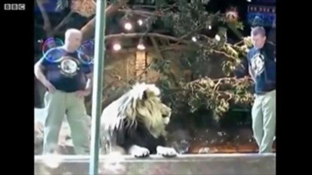 สิงโต ทำร้ายครูฝึก!!