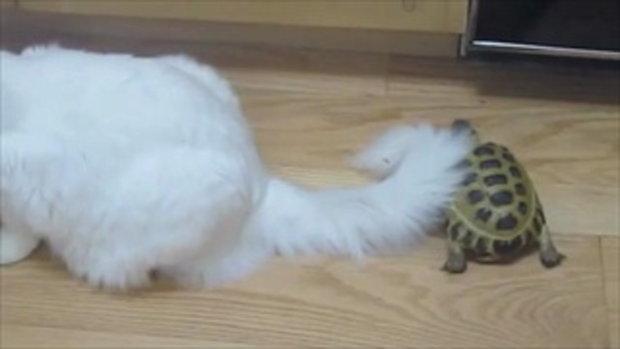 แมวกลัวเต่า!!