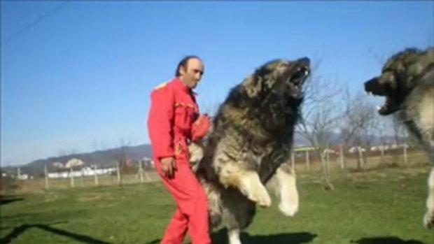 สุนัขหรือสิงโตเนี่ยะ ตัวใหญ่มาก