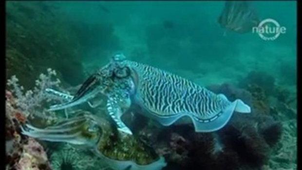 ปลาหมึก โคตรเทพ เจ้าแห่งการพรางตัว