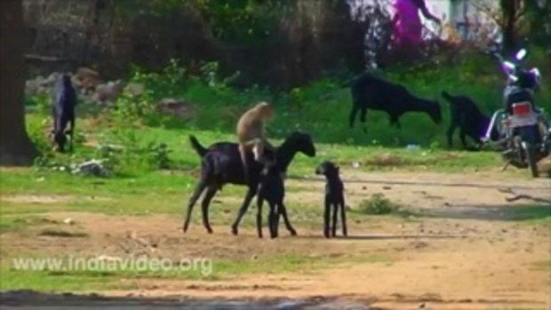 ลิงเล่นกับแพะที่อินเดีย
