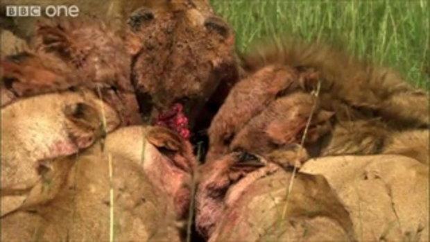สามหนุ่ม ใจกล้าเผชิญหน้ากับ สิงโต ผู้หิวโหย