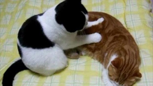 แมวหมอนวด