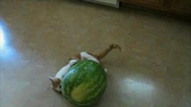 น้องแมว อยากกินแตงโม